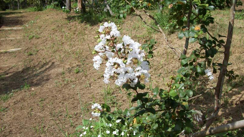サルスベリが美しい季節です。第一樹木葬地のサルスベリ