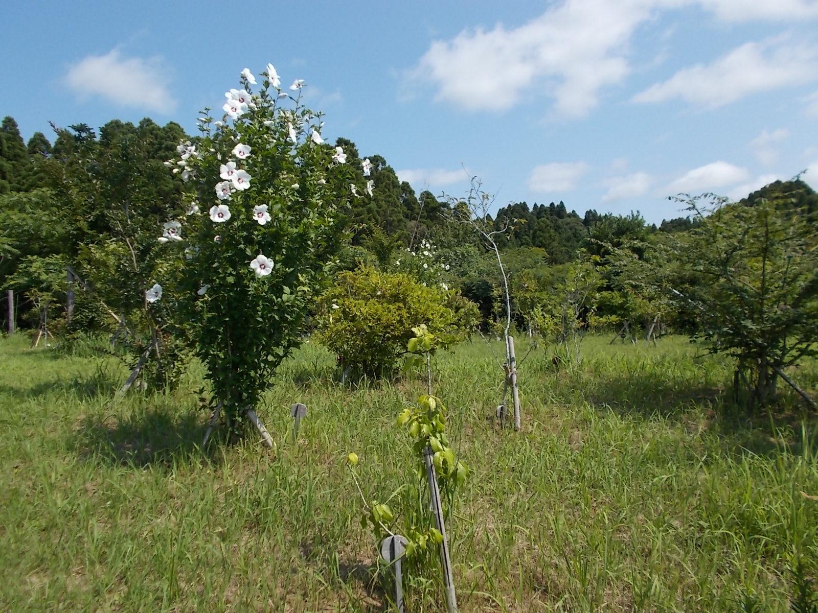 ムクゲが咲き始めました。第三樹木葬地