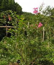 川嶋様 サルスベリ まだまだ元気に花咲いています