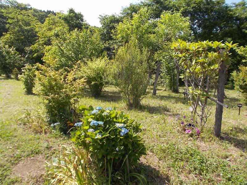 会員の方が植えた紫陽花も見頃です。第二樹木葬地