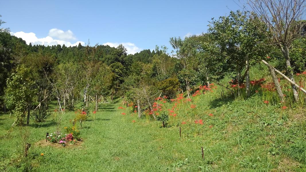 今年も彼岸花が沢山咲きました。第一樹木葬地
