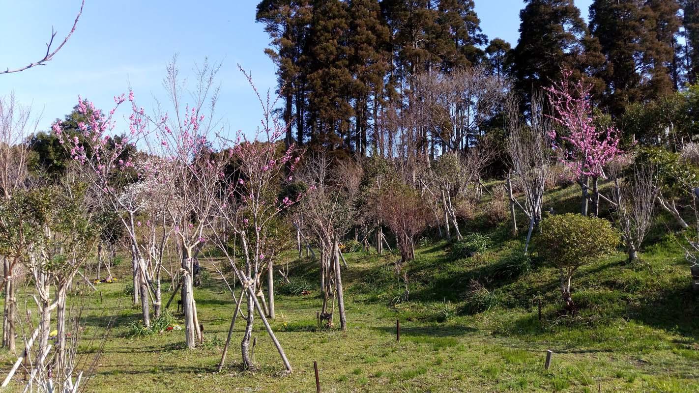 ヒメコブシとハナモモ咲く第一樹木葬地