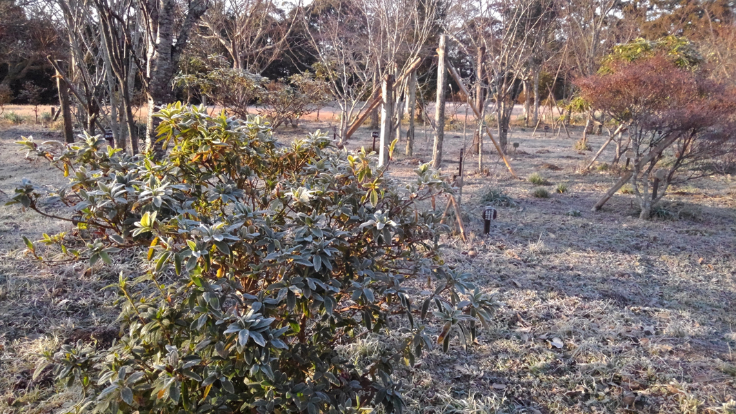 葉っぱにも霜が降りました。第二樹木葬地