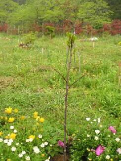 故、熊谷氏の紫モクレン、芽がつき ました