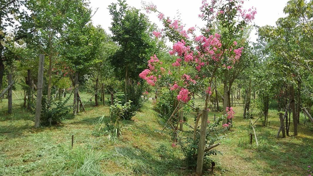 サルスベリが綺麗に咲きました。第一樹木葬地
