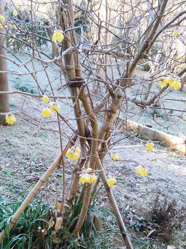 ロウバイが咲き始めました。