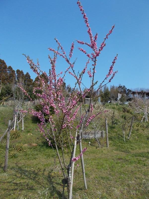 樹木葬地のハナモモ