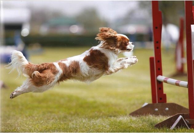 Carttere del Cavalier King: cavalier in agility