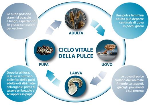 le pulci e il loro ciclo vitale