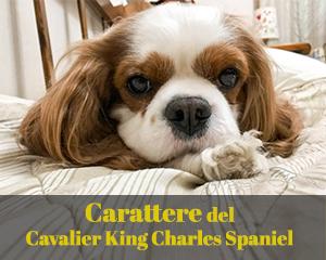 Carattere del Cavalier King: ama la vita comoda
