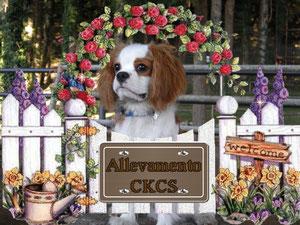 Cavalier King dietro un cancello con la scritta Allevamento CKCS