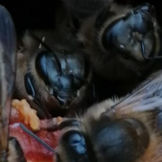 Traitement contre le varroa; L'Abeille Noire