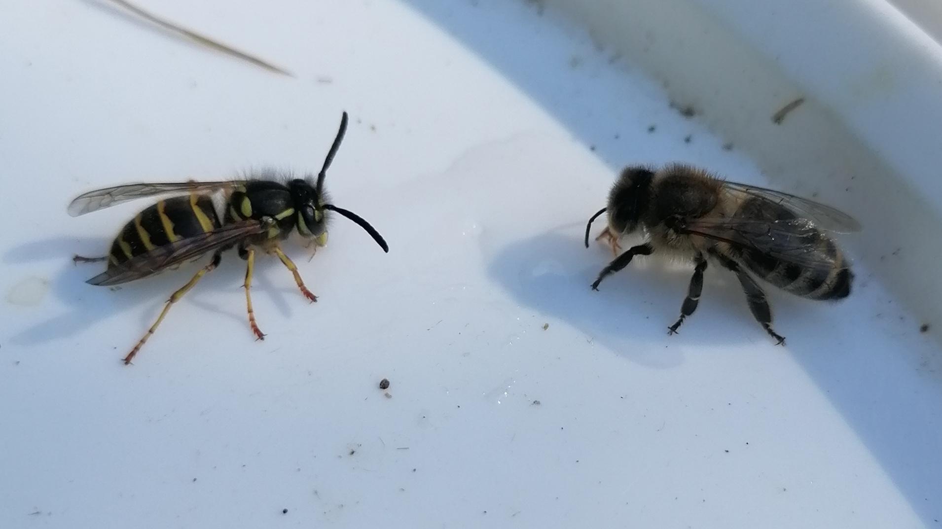 Pourquoi l'abeille est-elle poilue, pas la guêpe ? L'Abeille Noire