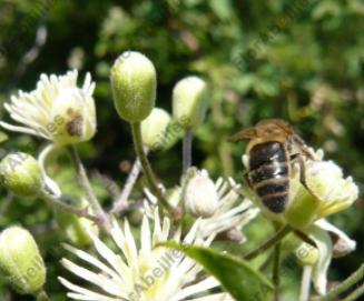 image tirée du site http://www.florabeilles.org/