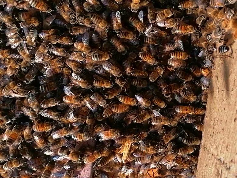 """""""Au secours"""", une famille envahie d'abeilles à Liège; L'Abeille Noire"""