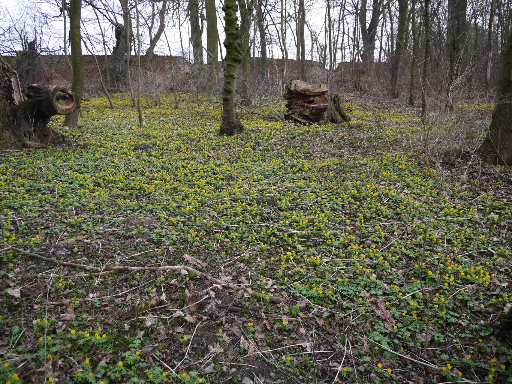 Winterlinge im Park Groß Bartensleben; Foto: Michael Wetzel