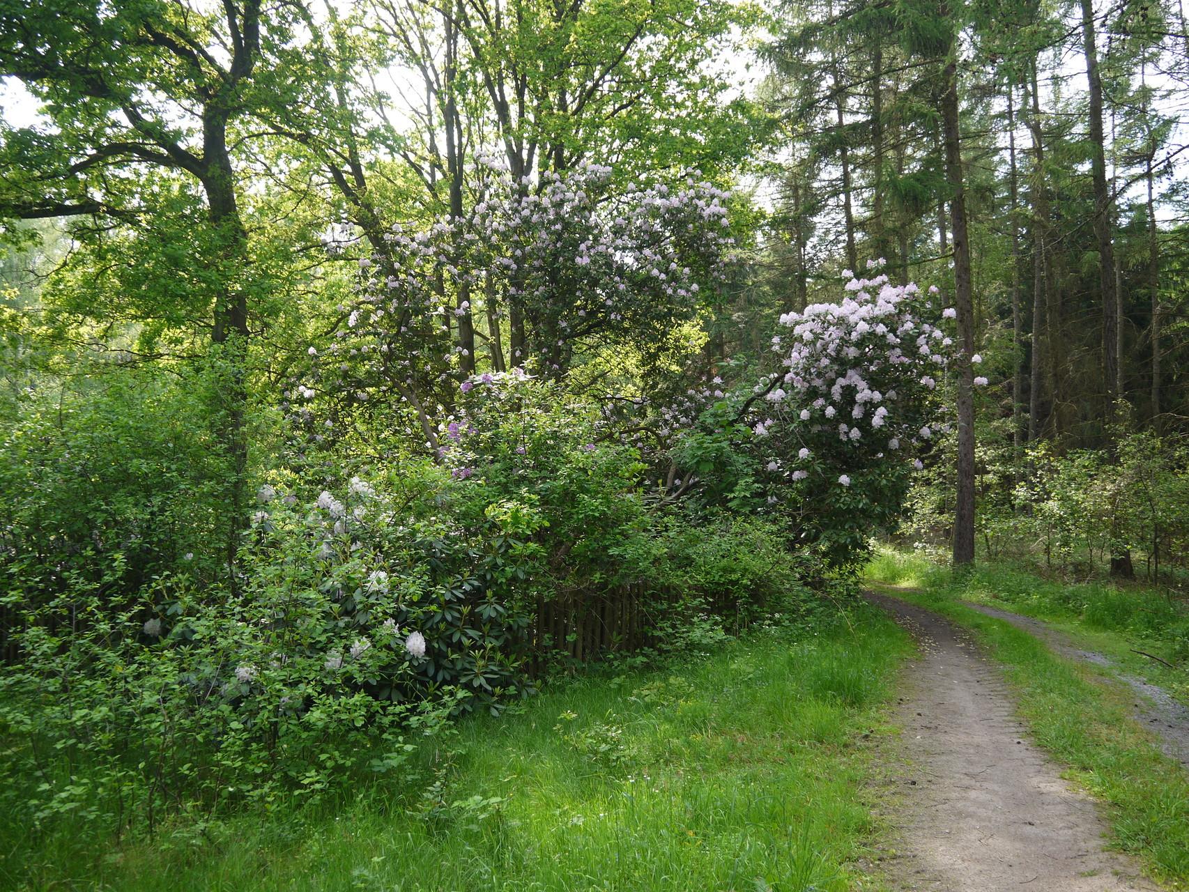 Rhododendron im Altenhäuser Forst; Foto: Michael Wetzel