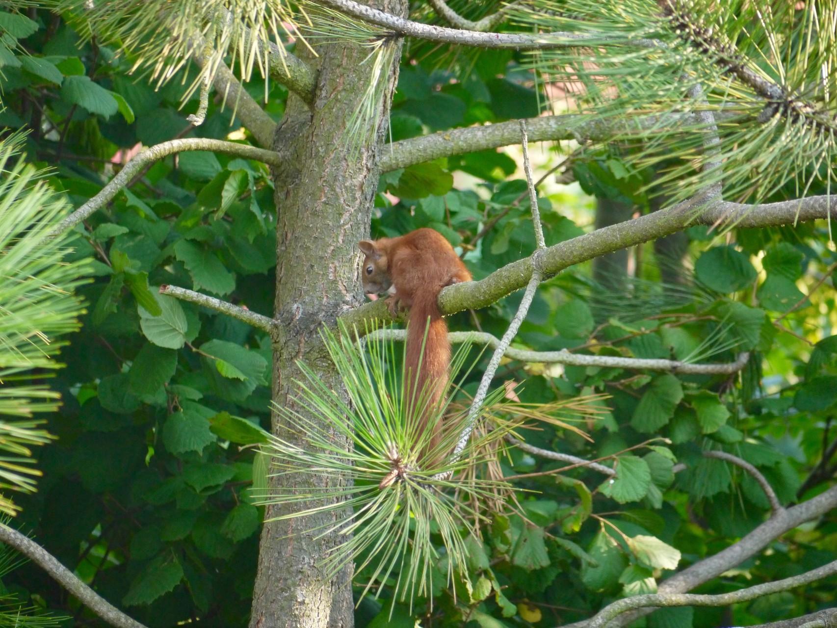 Eichhörnchen in Lindhorst; Foto: Michael Wetzel