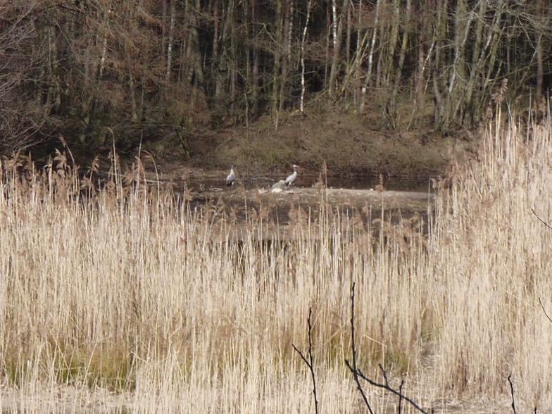 Verschilfter Flachwasserbereich, im Hintergrund Kraniche; Foto: Michael Wetzel