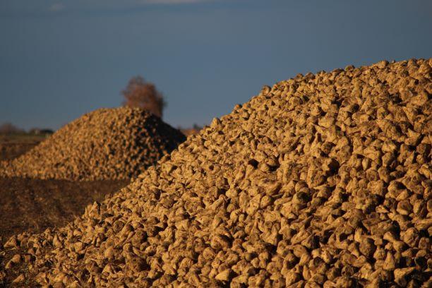 Zuckerrüben-fuer-Biogas