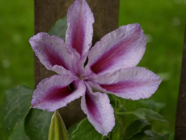Clematis 'Boskoop Beauty'