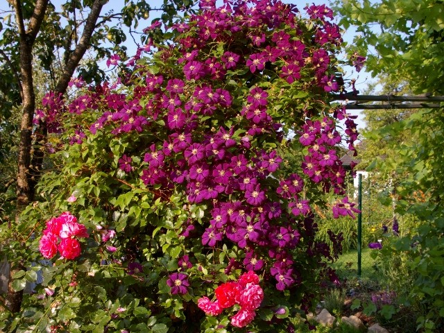 Clematis 'Ville de Lyon' mit Rose 'Rosarium Uetersen'