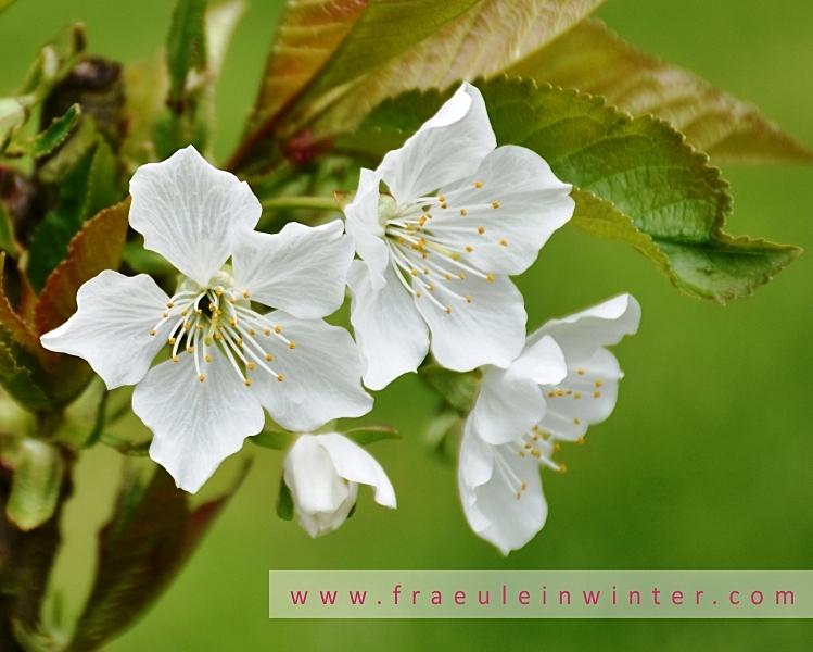 Kirschblüte | Cherry blossom