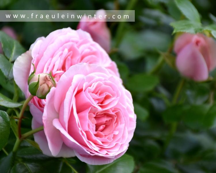 Rose Nahéma