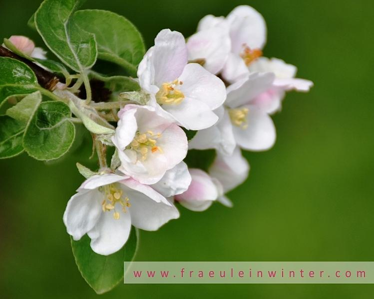 Apfelblüte | Apple blossom