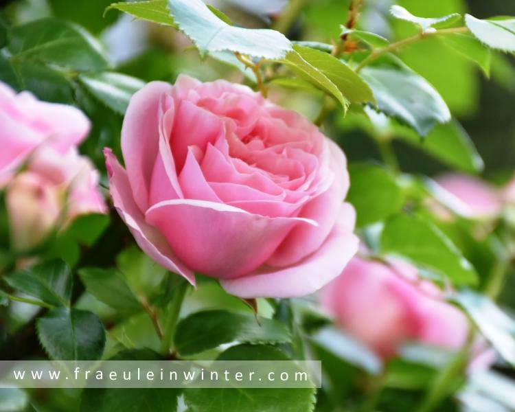 Rose Nahéma - Kletterrose