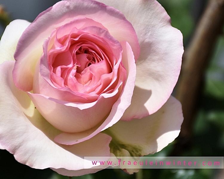 Eden Rose 85 - Pierre de Ronsard
