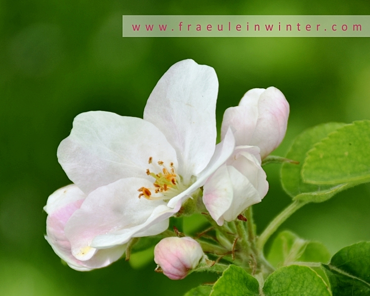 Apfelbaumblüte | Apple blossom