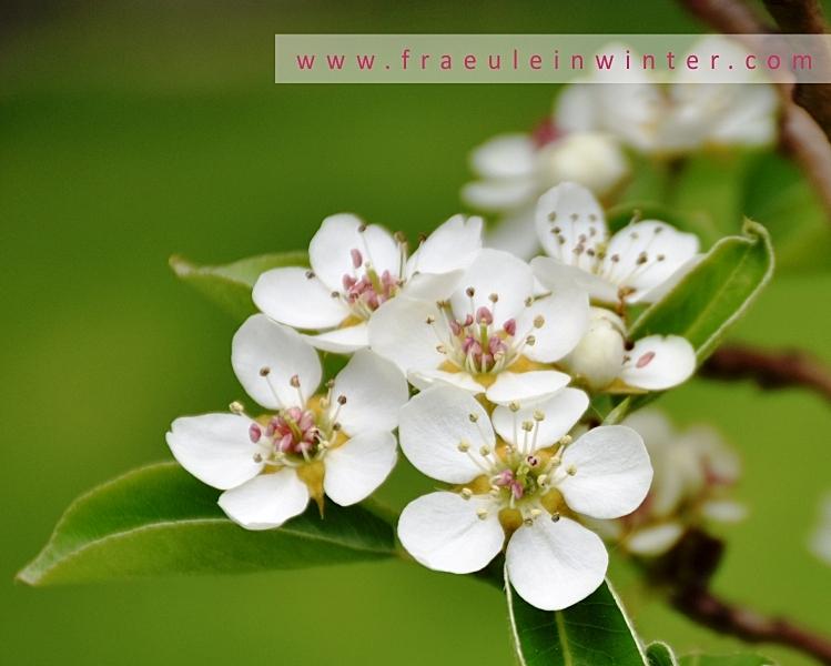 Birnbaumblüte | Pear Blossom