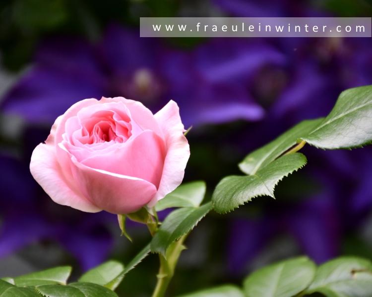 Rose Nahéma und Clematis