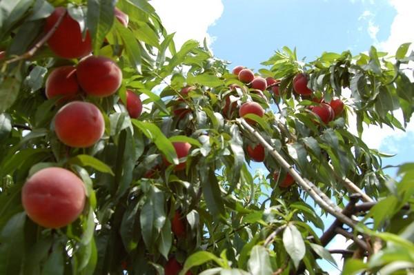 Mais les fruits très réputés autrefois, sont excellents.