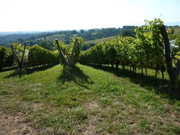 Le paysage original créé par la conduite de la vigne en double rang