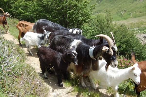 Les troupeaux constitués uniquement de chèvres pyrénnéennes sont encore rares . L'inévitable alpine les accompagne encore trop souvent.
