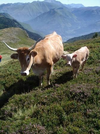 Une race assez légère et adaptée à la montagne à sauvegarder dans la perspective d'un élevage durable qui entretient les paysages.