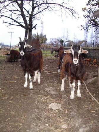 En Béarn la chèvre des Pyrénées était le plus souvent noire ou de couleur sombre avec un peu de blanc , notamment 2 virgules qui soulignent les yeux.