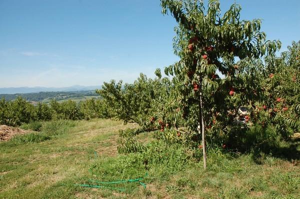 Les vergers de pêches Roussanne de Monein partagent le même terroir que le vin moelleux de Jurançon