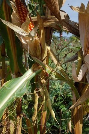 Le maïs grand roux d'avant les hybrides (sentinelle Slow Food) constitue une association exemplaire pour la biodiversité.