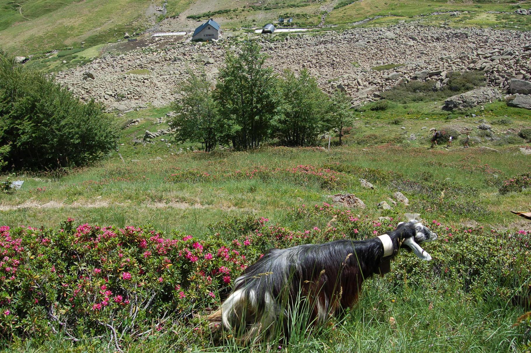 C'est vraiment en transhumance que la chèvre des Pyrénées, très gourmande, est heureuse.