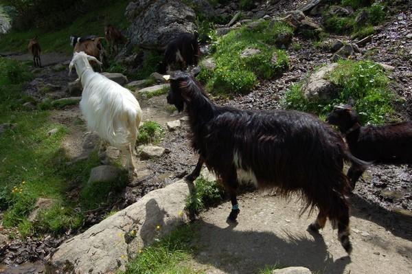 La chèvre des Pyrénées moins productive compense par une excellente adaptation à la montagne.