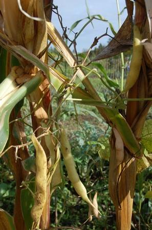 la récolte peut intervenir en frais dès que les gousses deviennent jaunes. Les haricots maïs sont ainsi plus succulents que secss