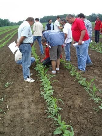 Les haricots maïs du Béarn sont complantés en même temps que la céréales. Rencontre technique organisée par l'association des producteurs.