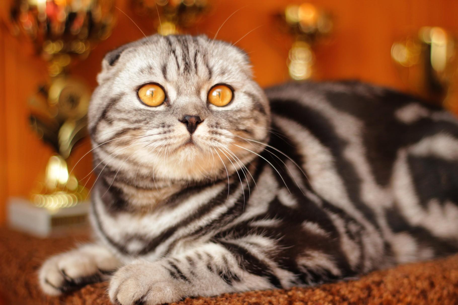 конца понимаю, восхитительные вислоухие коты фото нашем интернет-магазине