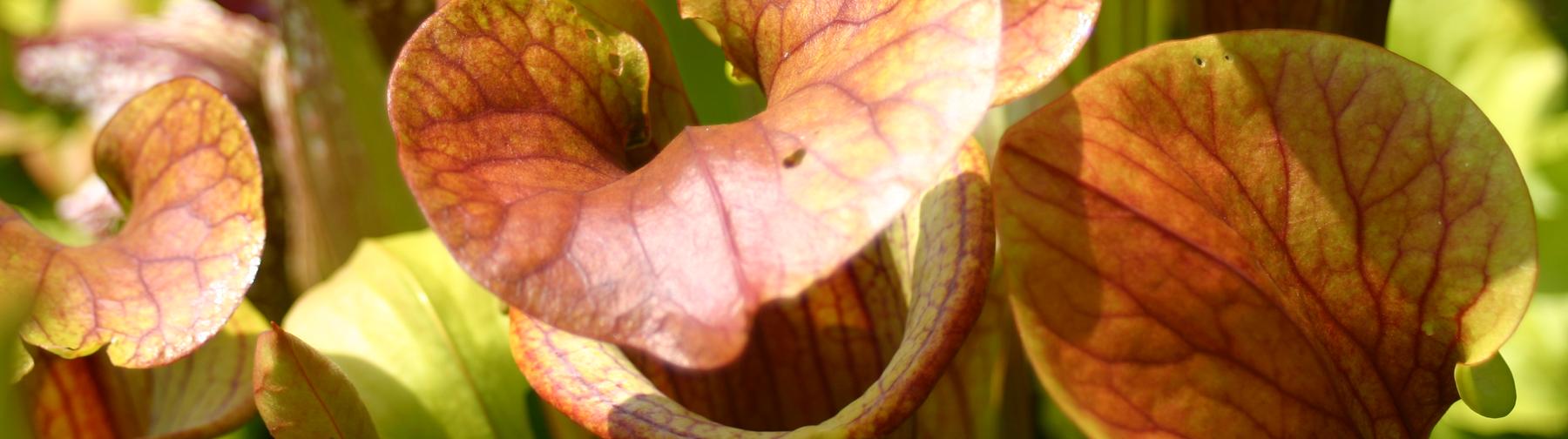 Sarracenia Samen