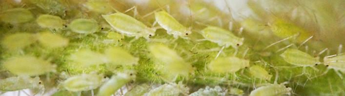 Was tun bei Blattläuse?