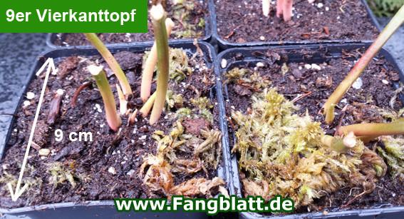 Pflanztopf, Vierkanttopf, Sarracenia, Fleischfressende Pflanzen