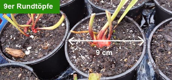 Fleischfressende Pflanzen, Rundtopf, Rhizom, Sarracenia, Schlauchpflanze